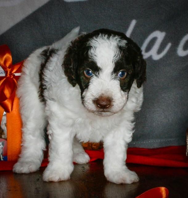 Spanischer Wasserhund, spanische wasserhunde welpen, kennel